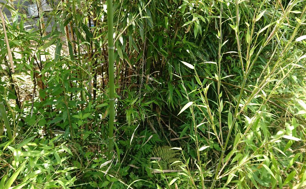 刈る前の竹